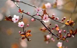 Preview wallpaper Pink cherry flowers bloom, leaves, nature, blur background