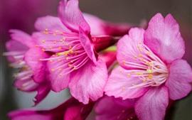 Розовые цветы крупным планом, лепестки