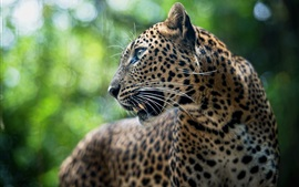 Preview wallpaper Predator, leopard, animal, bokeh