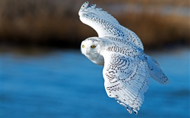 Preview wallpaper Snowy owl, flying, wings