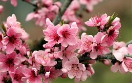 Spring, apple tree, pink flowers blossoms