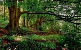 Floresta do verão, árvores, folhas verdes, grama