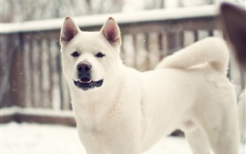 White dog in winter
