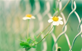 Preview wallpaper White yellow wildflowers, fence, blur