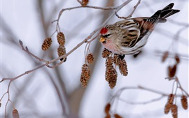 壁紙のプレビュー 冬、枝、鳥、スズメ