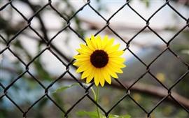 Flor amarela, cerca de ferro