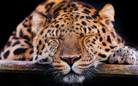 Preview wallpaper Amur leopard, sleep, rest