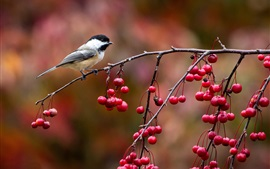 Bird close-up, chickadee, twig and red berries, autumn