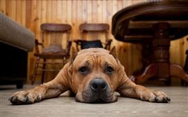 미리보기 배경 화면 갈색 강아지, 바닥, 슬픔