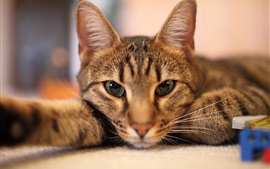 Preview wallpaper Cat lying down, face, eyes