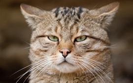 Preview wallpaper European cat, wild cat, eyes, face