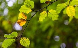 Folhas amarelas verde, ramo, borrão
