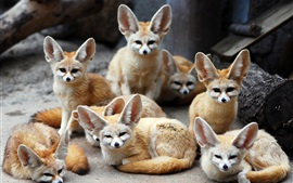 Aperçu fond d'écran Beaucoup de renards