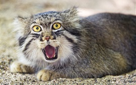 Preview wallpaper Pallas's cat, face, front view