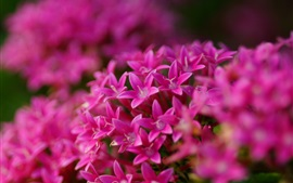 Preview wallpaper Pentas lanceolata, pink flowers