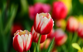 Preview wallpaper Red and white petals, tulip flowers, spring