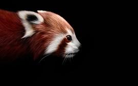 Panda rojo, mapache, fondo negro