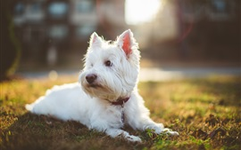 Shaggy white dog, sunlight