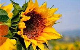 Preview wallpaper Sunflower, yellow flowers, summer