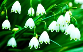 Preview wallpaper White snowdrops, green background