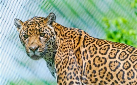 Animais close-up, jaguar, predadores, olhar