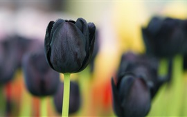 Preview wallpaper Black tulip flowers
