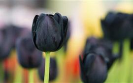 Flores tulipa negra