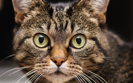 Preview wallpaper Cat close-up, face, eyes, whiskers