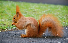 Preview wallpaper Cute animal, red squirrel, tail