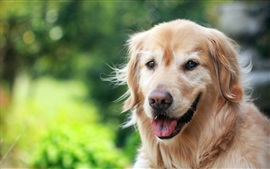 Olhar cão, marrom, bokeh
