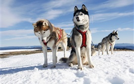 Trenós puxados por cães, neve, céu, frio