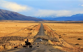 Golden fields, road, sheep, Chile, Patagonia