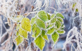 Green leaves, rime, snow, branch, frost
