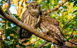 Preview wallpaper Mottled owl, couple, branches