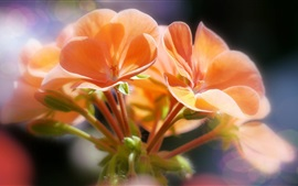 Orange flowers, bokeh, macro