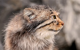 Preview wallpaper Pallas's cat, side view, face, whiskers