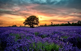 Preview wallpaper Purple lavender fields, scenery, sunset, flowers
