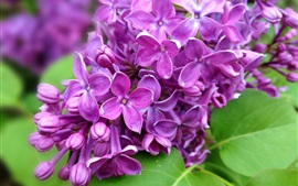 Preview wallpaper Purple lilac flowers branch, nature, spring