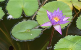 Preview wallpaper Purple water lily close-up, pond