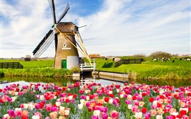 Preview wallpaper Red white flowers, tulips, spring, fields, windmill
