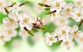 Весна яблоня, ветки, белые цветы, листья