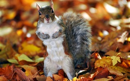 Preview wallpaper Squirrel, leaves, autumn
