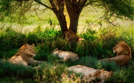 Verão, leões, árvore, grama