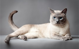 Preview wallpaper Thai cat, blue eyes, gray background