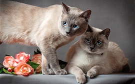 Thai cat, two cats, flowers, gray background