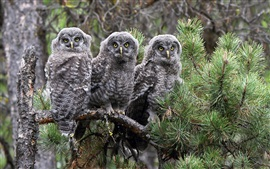 Preview wallpaper The great gray owl, three owls