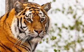 Tiger face, whiskers, eyes, predator