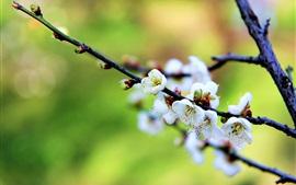 Белые цветы сливы весна обои фото