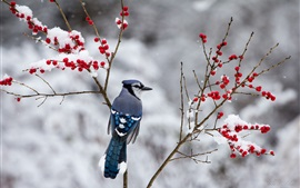 Winter, blue bird, snow, twigs, red berries