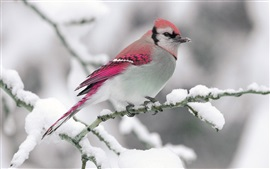 Preview wallpaper Winter, snow, red feather bird